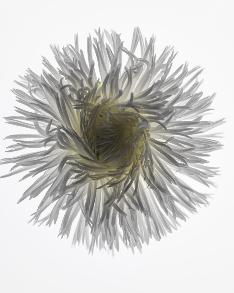 Blüte im Gegenlicht, Makroaufnahme mit Zeiss Makro-Planar 50mm und Nikon D850