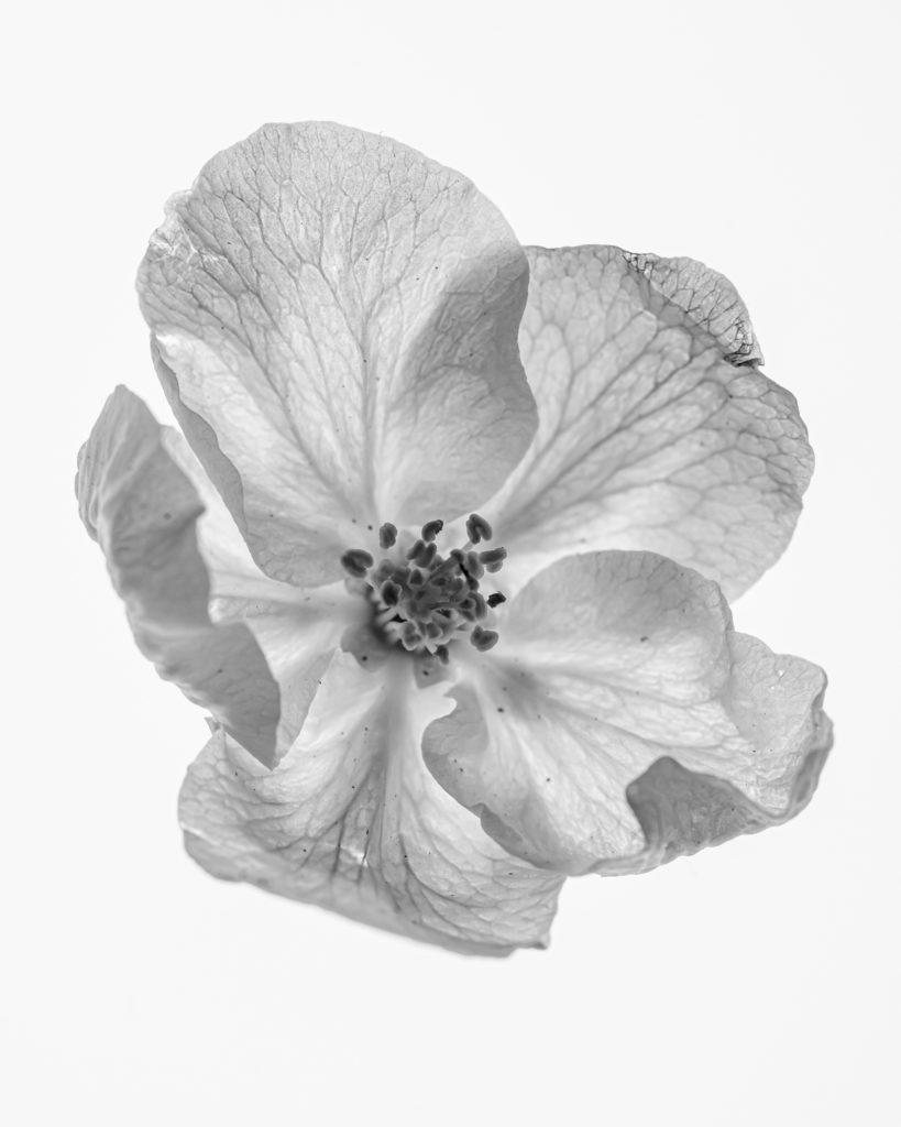 Blüte im Durchlicht / Schwarzweiss / Black&White