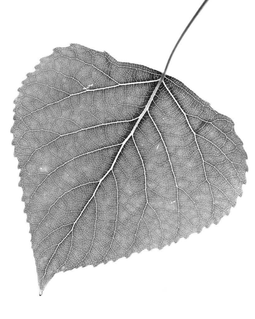 Blatt im Gegenlicht / Schwarzweiss