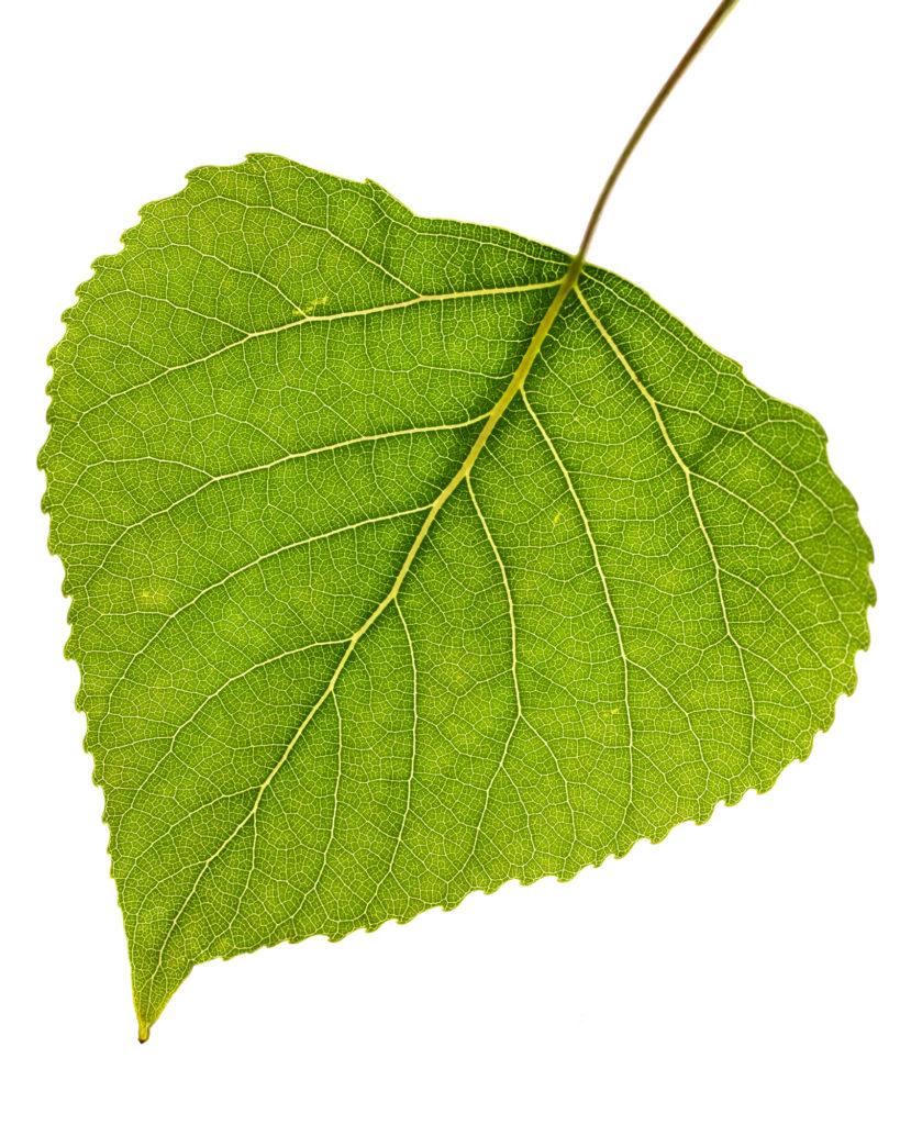 Blätter im Gegenlicht, Makroaufnahme