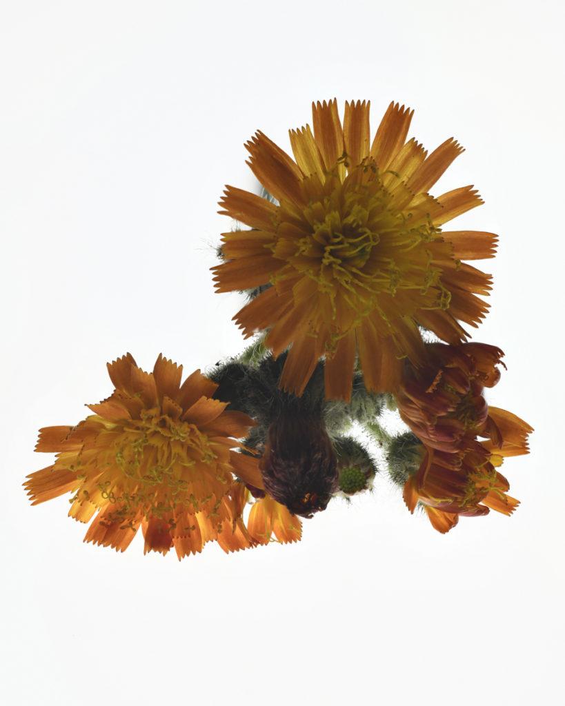 Doldiges Habichtskraut, Makroaufnahme, Fokus Stacking D850 Nikon  Sommerblume